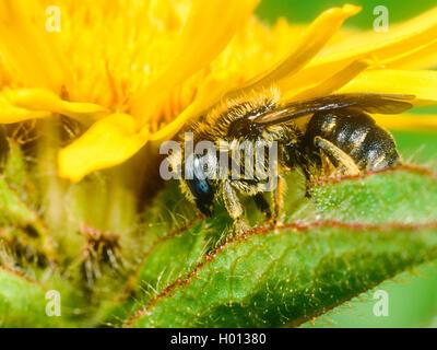 Spined Maurer - Biene (Osmia spinulosa), Weibliche schläft auf Qx-Auge (Buphthalmum salicifolium), Deutschland - Stockfoto