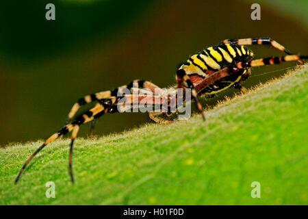 wespenspinne zebraspinne argiope bruennichi spinne in dachmarke netz mit einer libelle als. Black Bedroom Furniture Sets. Home Design Ideas