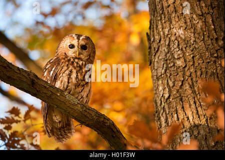 Waldkauz, Wald-Kauz (Strix Aluco), Sitzt Auf Einem Ast Im Herbst, Deutschland | Eurasische Waldkauz (Strix Aluco), - Stockfoto
