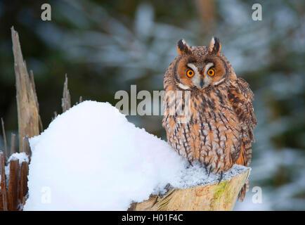Waldohreule (Asio Otus), die Waldohr-Eule Sitzt Auf Einem Schneebedecktem Baumstumpf, Deutschland, Bayern | Waldohreule - Stockfoto