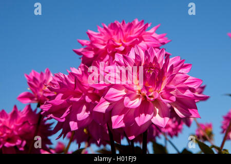Georgina (Dahlia 'HapetPink Jack', Dahlie Hapet Pink Jack), Sorte Hapet Pink Jack - Stockfoto