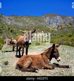 Inländische Esel (Equus asinus asinus), vier Eseln in die Berge, Frankreich, Provence - Stockfoto