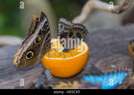 Helena Morpho (Morpho Helenor Carillesis), orange - Stockfoto