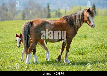 Welsh Pony Stute mit paar Wochen alten Fohlen im Frühjahr Weiden - Stockfoto