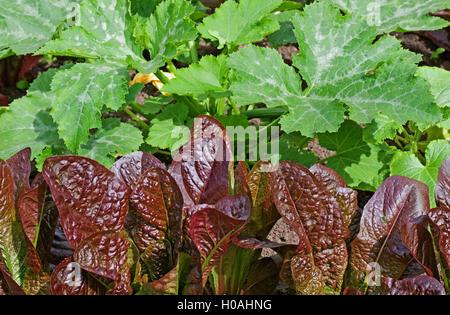 """Reihe von rot-blättrig """"Rosedale"""" Kopfsalat Pflanzen wachsen im Garten vor Zucchini Pflanzen im Sommersonnenschein, - Stockfoto"""