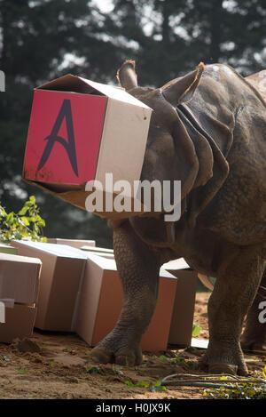 Whipsnade Zoo, Dunstable, Großbritannien. 21. September 2016. Ein zwei-Tonnen mehr einem gehörnten Nashorn im ZSL - Stockfoto