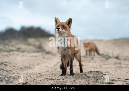 Rote Füchse / Rotfuchs (Vulpes Vulpes) stehend auf einem sandigen Pfad im schönen Winterfell, lustig Nahaufnahme - Stockfoto
