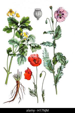 "Schoellkraut, (Chelidonium Majus (""Links""), Klatschmohn, Mohnblume Oder Klatschrose, Papaver Rhoeas (unten Mitte), - Stockfoto"