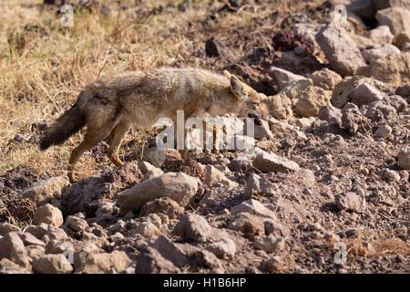 Black-backed Jackal (Canis Mesomelas) - Stockfoto
