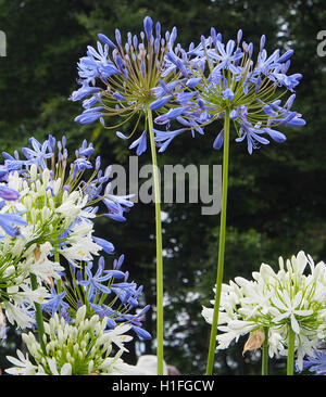 wei e blumen garten pflanzen agapanthus stockfoto bild 5534041 alamy. Black Bedroom Furniture Sets. Home Design Ideas