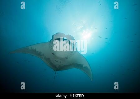 Riff-Manta, Manta Alfredi, Cabo Marshall, Isabela Island, Galapagos, Ecuador - Stockfoto