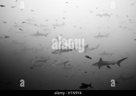 Bogenstirn-Hammerhai, Sphyrna lewinii, Wolf Island, Galapagos, Ecuador - Stockfoto