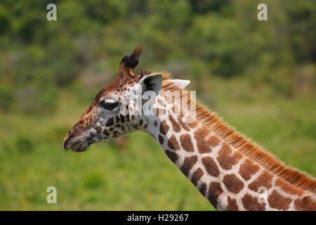 Maasai Giraffe (Giraffa Camelopardalis), Porträt, Arusha Nationalpark, Tansania - Stockfoto
