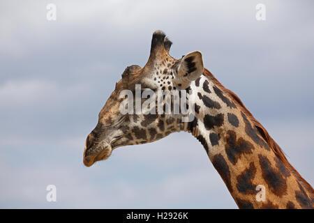 Giraffe (Giraffa Camelopardalis), Porträt, Tarangire Nationalpark, Tansania - Stockfoto