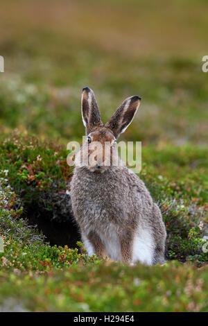Schneehase (Lepus Timidus), Schottland, Vereinigtes Königreich - Stockfoto