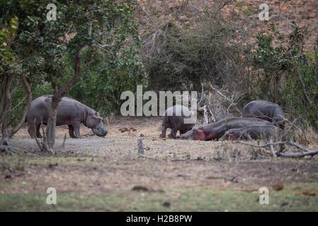 Eine Gruppe von Hippo aus dem Wasser an einem bewölkten Tag im Kruger National Park - Stockfoto