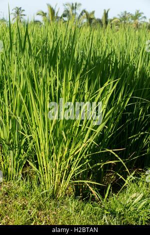 Indonesien, Bali, Payangan, Susut, Reis wächst in fruchtbaren vulkanischen Boden - Stockfoto