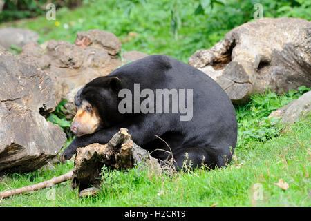 Malaiische Sun Bear (Helarctos Malayanus) in Edinburgh Zoo, Scotland, UK - Stockfoto