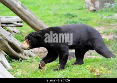 Malaiische Sun Bear (Helarctos Malayanus) in Edinburgh Zoo, Scotland, UK - Stockfoto