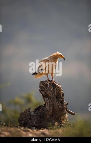 Ägyptischer Geier Neophron Percnopterus Erwachsene in der Nähe von Solsona Pre-Pyrenäen Katalonien Spanien - Stockfoto