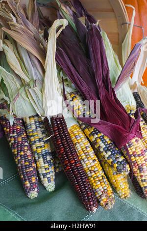 Mais am Bauernmarkt (Kattun Mais, Mais Flint) - Stockfoto