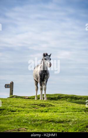 Graue wildes Pony Fohlen (Equus Caballus) Warnung auf die Sky-Line mit einem Maultierweg Finger Post im Hintergrund. - Stockfoto