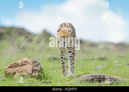Gepard (Acinonix Jubatus) zu Fuß auf Savanne, Masai Mara National Reserve, Kenia - Stockfoto