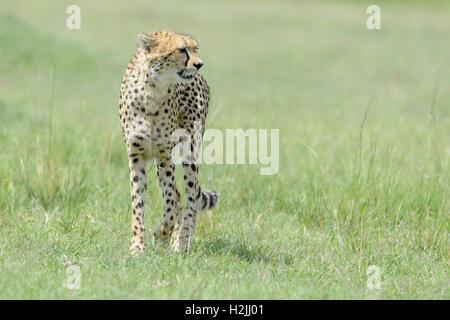 Gepard (Acinonix Jubatus) zu Fuß auf Savanne, nachschlagen, Masai Mara National Reserve, Kenia - Stockfoto