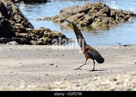 Bare-throated Tiger Heron (Tigrisoma geschieht) an einem Ufer (Montezuma, Costa Rica) anzeigen. - Stockfoto
