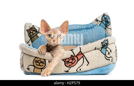 Devon Rex entspannend in einem Haustier Korb isoliert auf weiss - Stockfoto