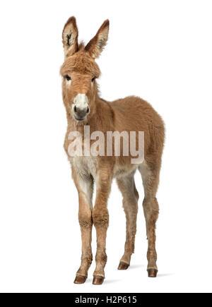 Young-Provence Esel schaut in die Kamera, Fohlen, isoliert auf weiss - Stockfoto