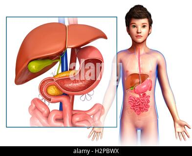 Abbildung eines Kindes Leber und Magen-Darm-System Stockfoto, Bild ...