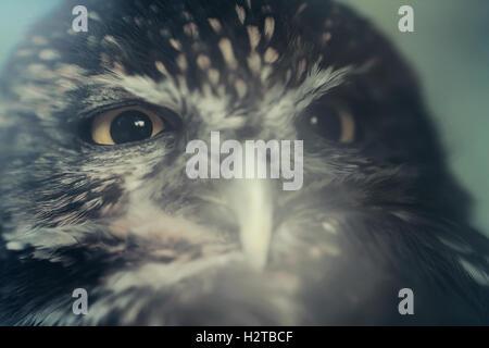 Kleine Eule Vogel Nahaufnahme Tier Portrait-Foto - Stockfoto