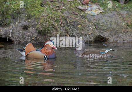 Männliche und weibliche Mandarin Wildenten, Aix Galericulata.  Frühling. UK Stockfoto