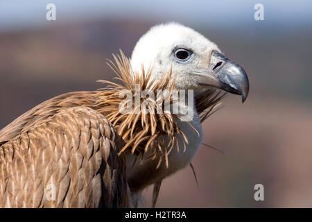 Nahaufnahme von Griffon Vulture Kopf - Stockfoto