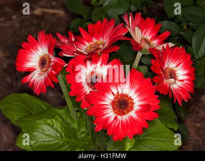 Cluster von weißen Blüten mit grünen Zentren & Blätter der ...