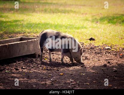 Nutztier, Hängebauchschwein frei Kratzen im Hof in der Abenddämmerung. - Stockfoto