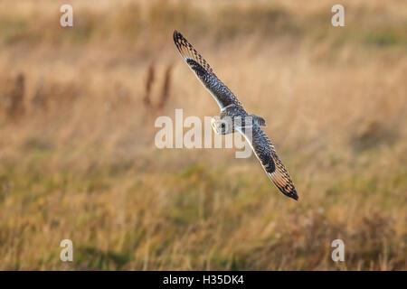 Sumpfohreule (Asio Flammeus) rangieren bei der Jagd nach Beute während des Fluges über Marsch landen, Cheshire, - Stockfoto