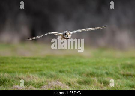 Sumpfohreule (Asio Flammeus) Tiefflug über grobe Rasen Jagd nach Beute, Cheshire, England, UK - Stockfoto