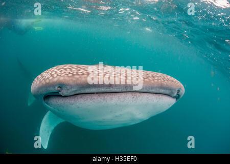 Walhai (Rhincodon Typus) filtern Fütterung unter Wasser aus El Mogote, in der Nähe von La Paz, Baja California Sur, - Stockfoto