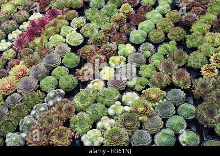 Sempervivum. Hauswurz Pflanzen in Töpfen zum Verkauf an die RHS Wisley herbstliche Blumenschau, Surrey, UK - Stockfoto