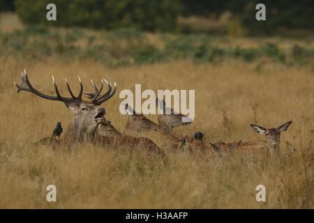 Ein brüllenden Rotwild Hirsch (Cervus Elaphus) umgeben von seinen Hinds, sitzen auf der Wiese mit einer Dohle Vogel - Stockfoto