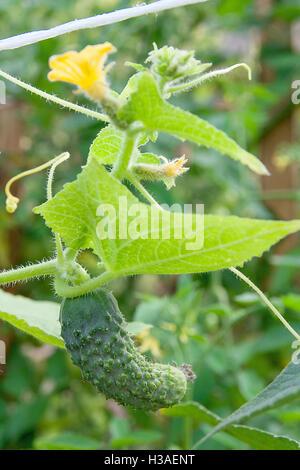 Eine Gurke in einem Gebüsch im Freien. Wie man eine Gurke Pflanze in einem Garten wachsen. Junge Gurken auf blühenden - Stockfoto