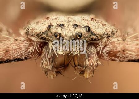 Extreme Vergrößerung - flache Spinne, Krabben, Vorderansicht - Stockfoto