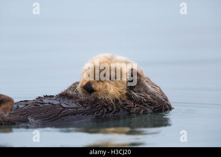 Ein Seeotter, vor der Küste des Lake-Clark-Nationalpark, Alaska. - Stockfoto