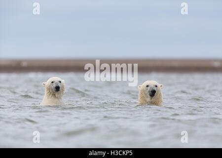 Eisbären (Ursus Maritimus), Arctic National Wildlife Refuge, Alaska. - Stockfoto