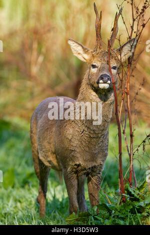 Ein Rehbock schmiert Duft aus einer Drüse unter seinem Auge auf Vegetation, sein Revier zu markieren, während des - Stockfoto