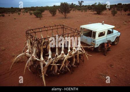 Lizenzierte kangaroo Shooter und der Nacht. Die Jäger sind lizenziert das Känguru Bevölkerung in einer Bemühung, - Stockfoto