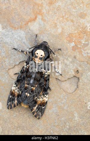 Tod Kopf Hawkmoth; Acherontia Atropos zeigt Schädel Schnittmuster UK ...