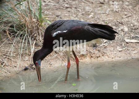 Die Abdim Storch (Ciconia Abdimii), auch bekannt als der White-bellied Storch. Tierwelt Tier. - Stockfoto